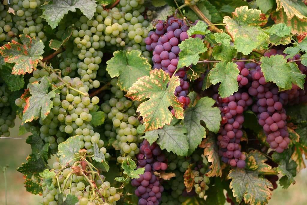Grappes de raisins vignobles d'Alsace