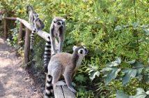 Lémuriens dans le parc national de la montagne d'ambre
