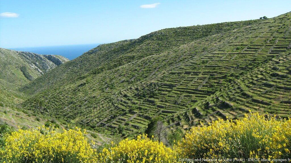 champs de lavande sur l'île de Hvar