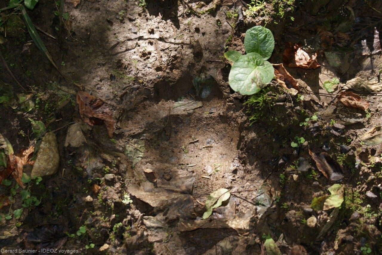 marque d'ours brun dans les forêts de serbie
