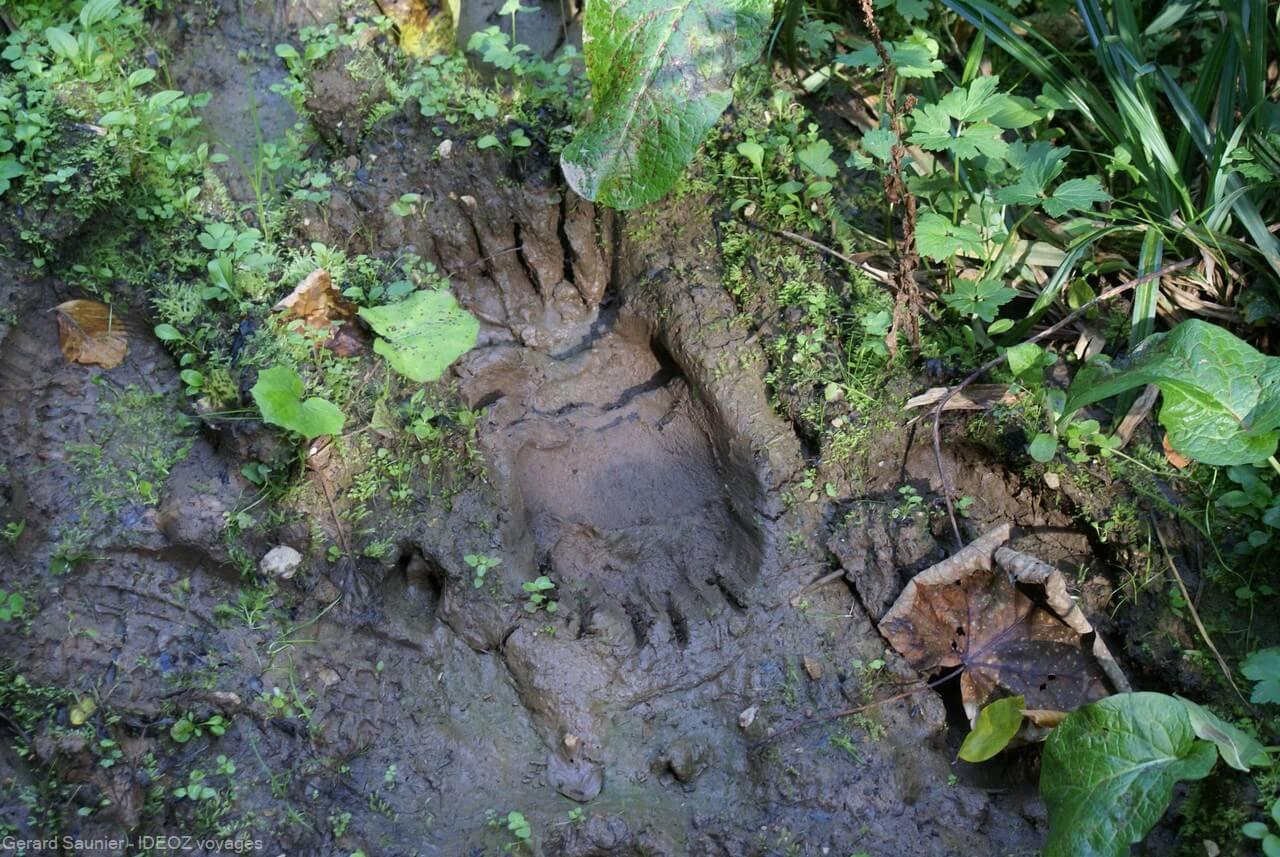 traces d'ours à la frontière entre la Serbie et la Bosnie à Brunica