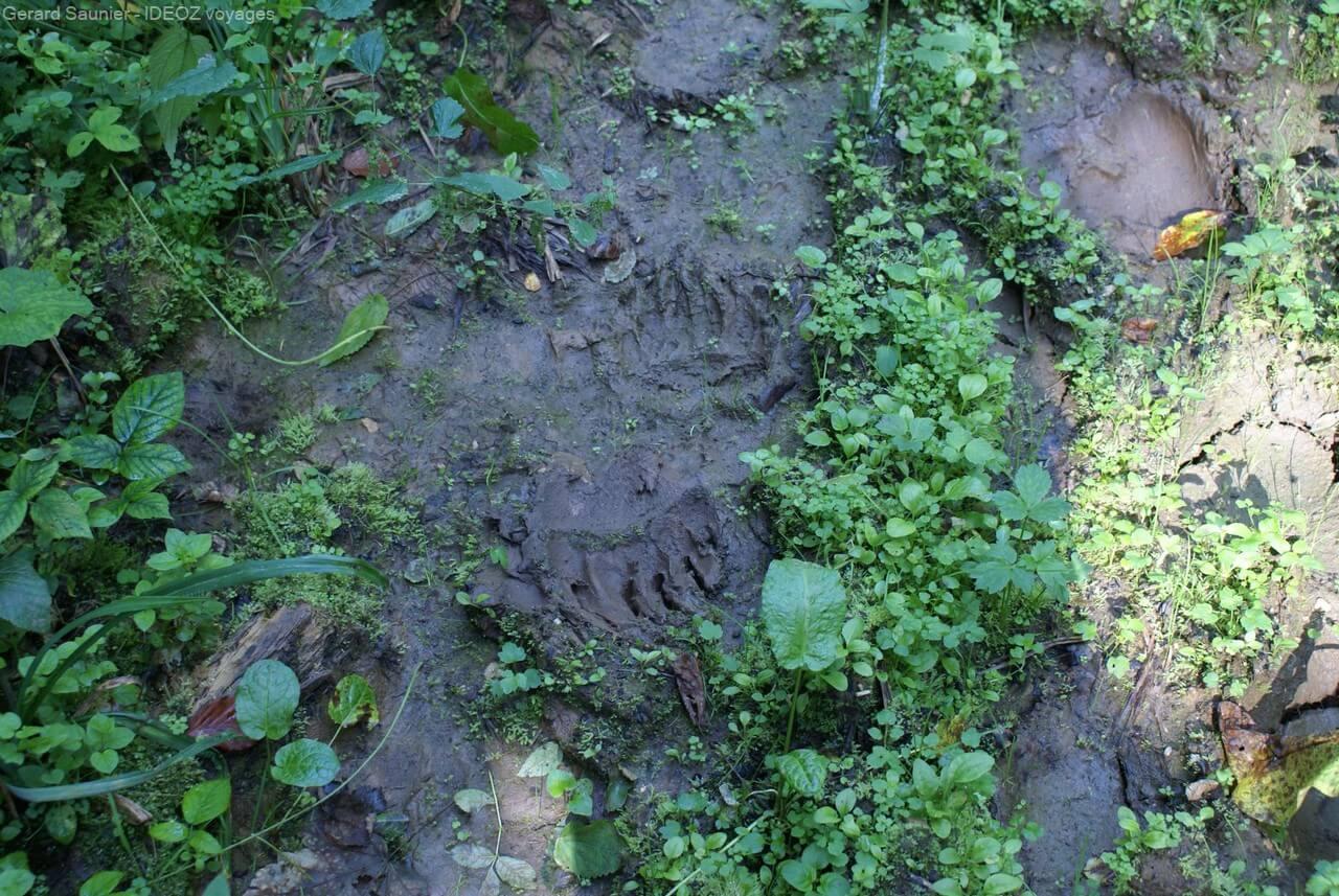 traces d'ours bruns dans les montagnes de serbie
