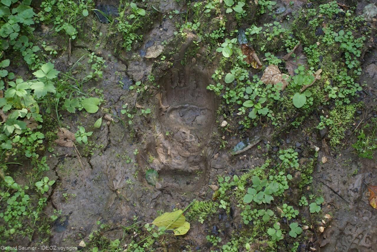 traces d'ours dans la forêt à Brunica entre Serbie et Bosnie