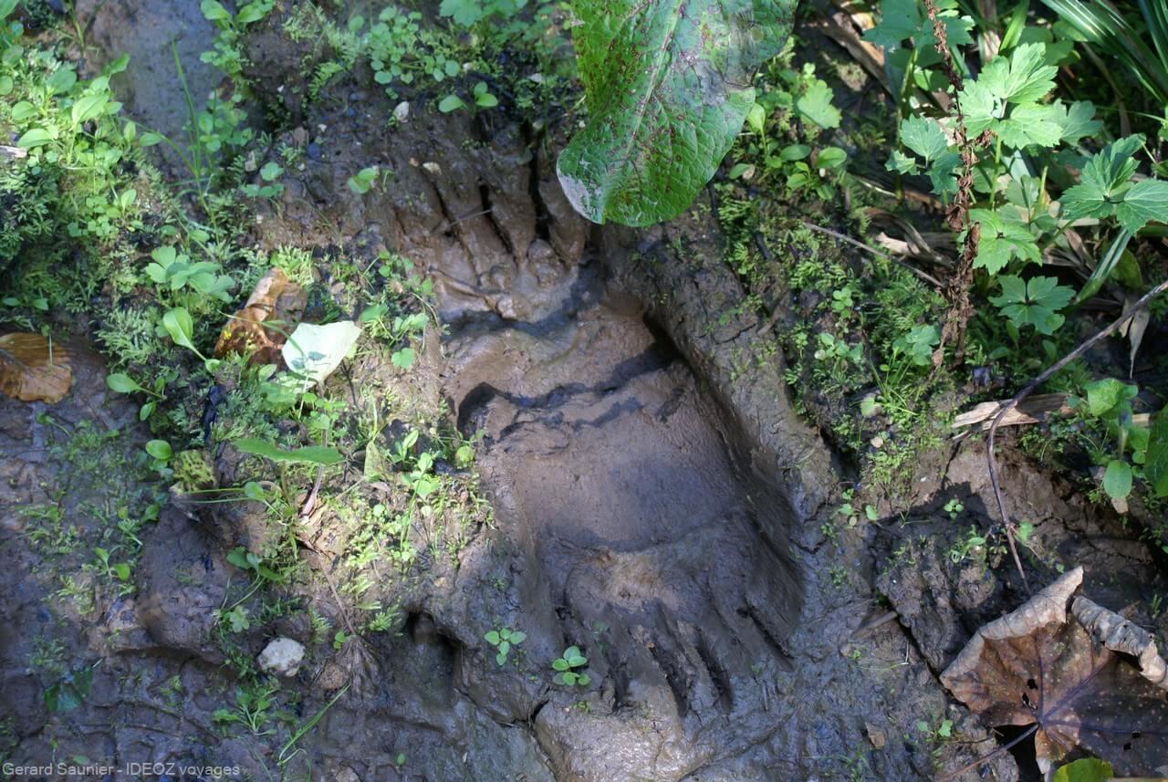 traces laissées par un ours dans les monts de Zlatibor en serbie