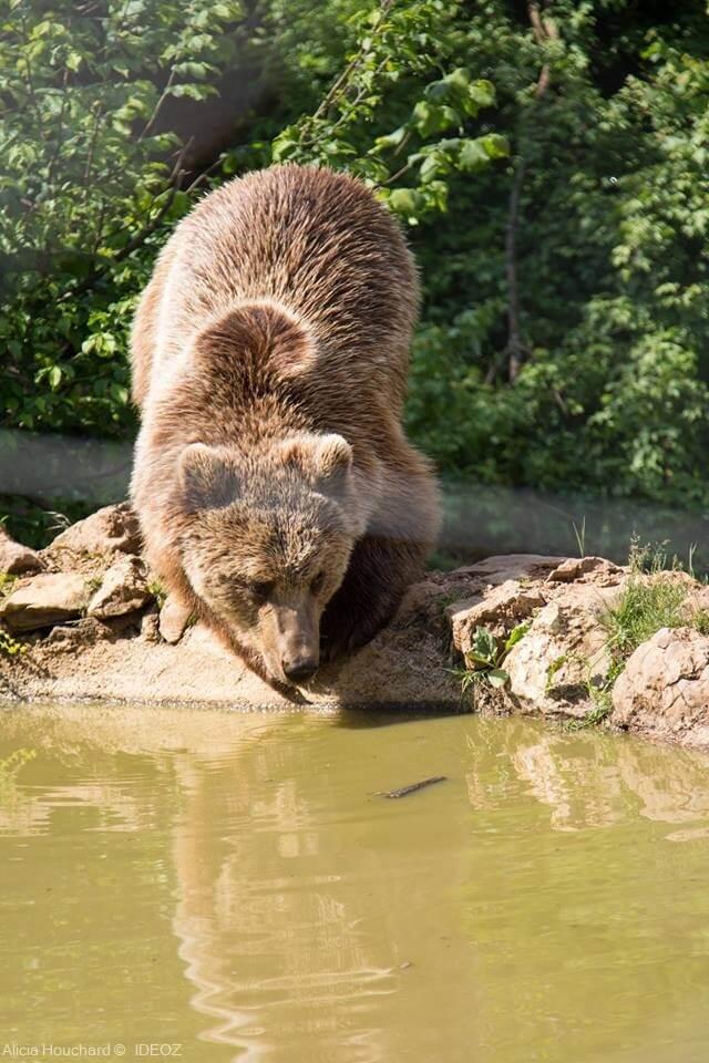 ours adulte s'abreuvant dans le sanctuaire des ours de Kuterevo (1)