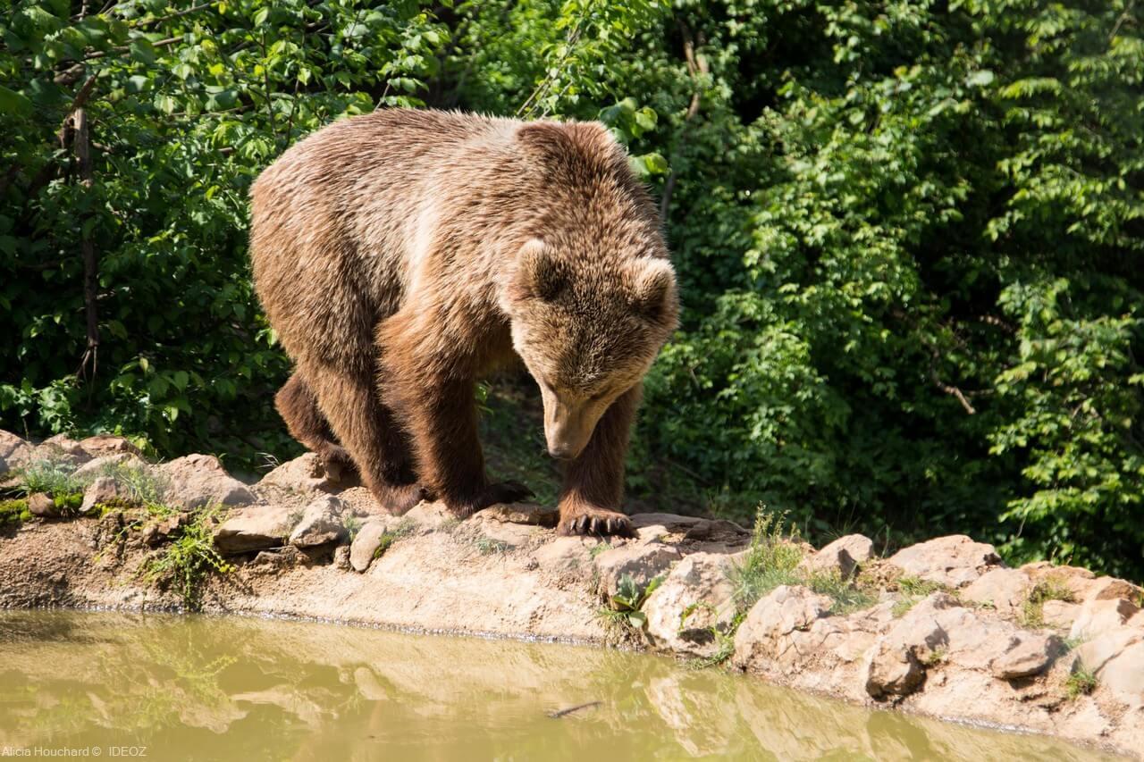 ours brun adulte en croatie à kuterevo (1)