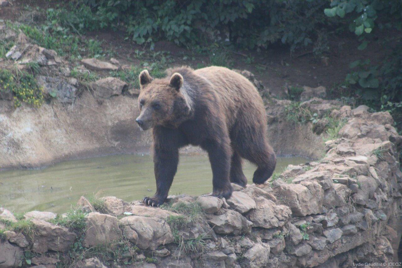 ours du sanctuaire de Kuterevo en Croatie (1)