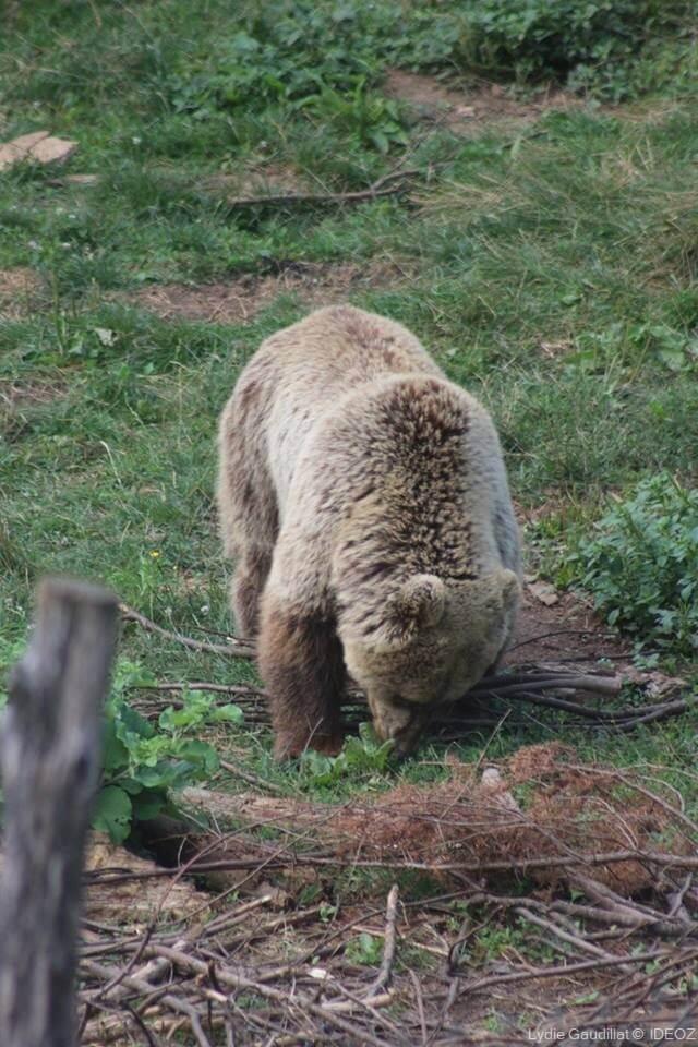 Refuge des ours de Kuterevo : rencontre avec les ours bruns de Croatie 4