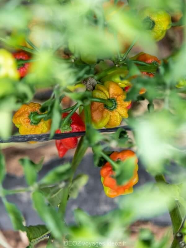 OPG Matulic, saveurs et délicieux produits culinaires et cosmétiques de l'île de Pasman 4