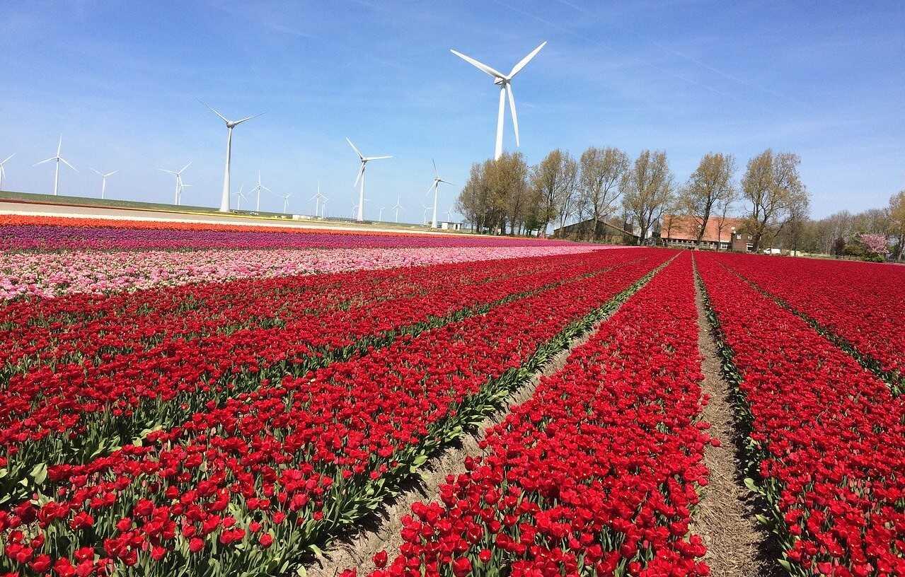 champs de tulipes aux pays bas