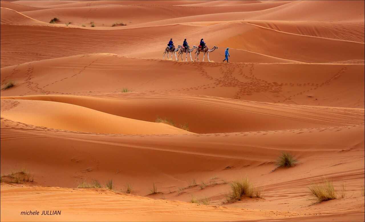chameliers dans le désert marocain