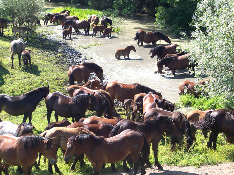 cheval Posavina évoluant en troupeau dans l'un des affluents de la sava à Lonjsko polje