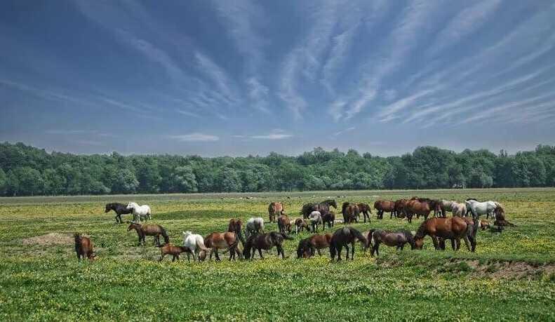 chevaux posavina dans la prairie de lonjsko polje