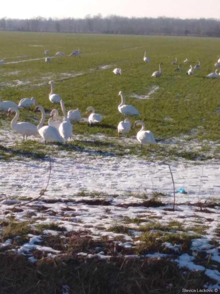 cygnes dans la réserve de kopacki rit en janvier (1)
