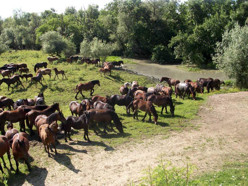 troupeau de chevaux Posavina à Lonjsko polje
