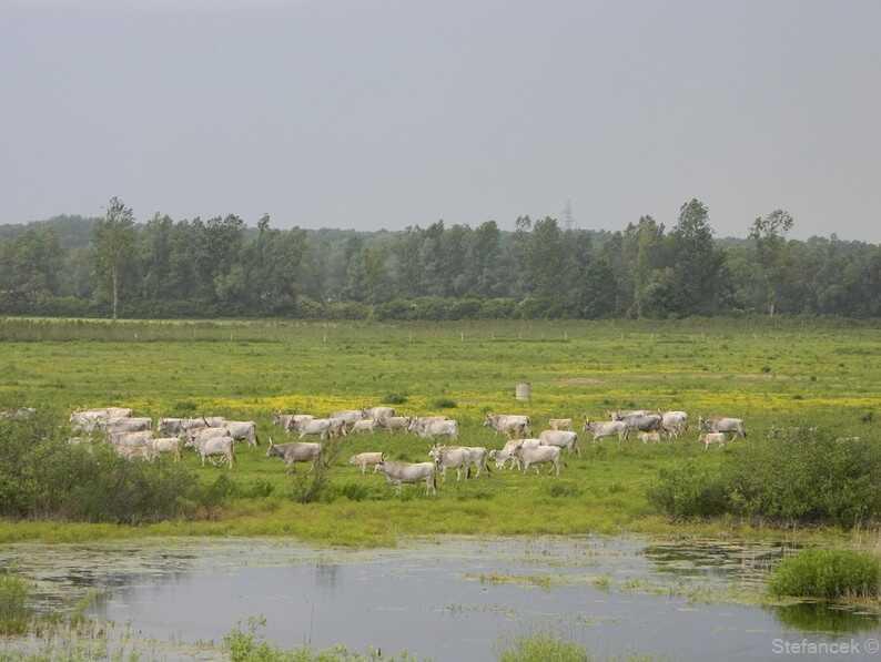 troupeau de vaches sur les bords de la sava dans la réserve naturelle de lonjsko polje