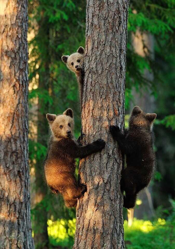 oursons dans le parc national de Tara en serbie