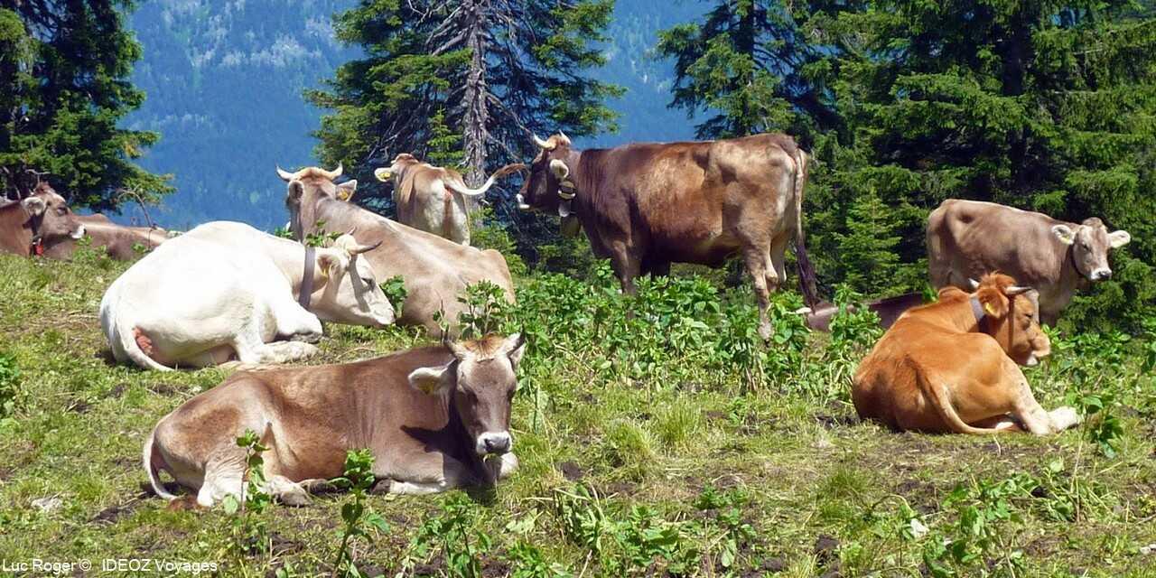 troupeau de vaches dans les alpes bavaroises dans la région de garmisch partenkirchen