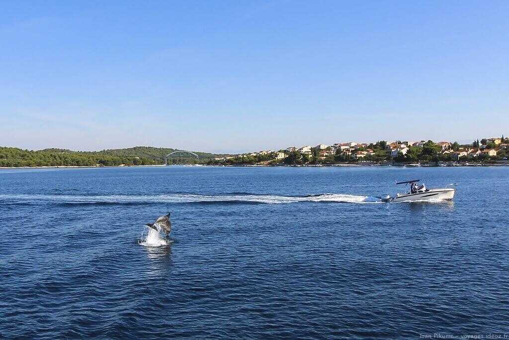 dauphins en dalmatie au large de pakostane