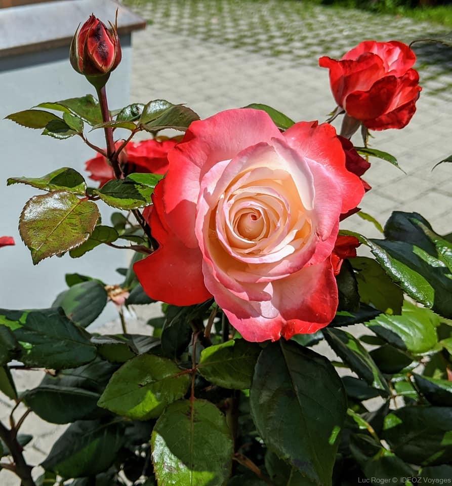Mittenwald roses d'été