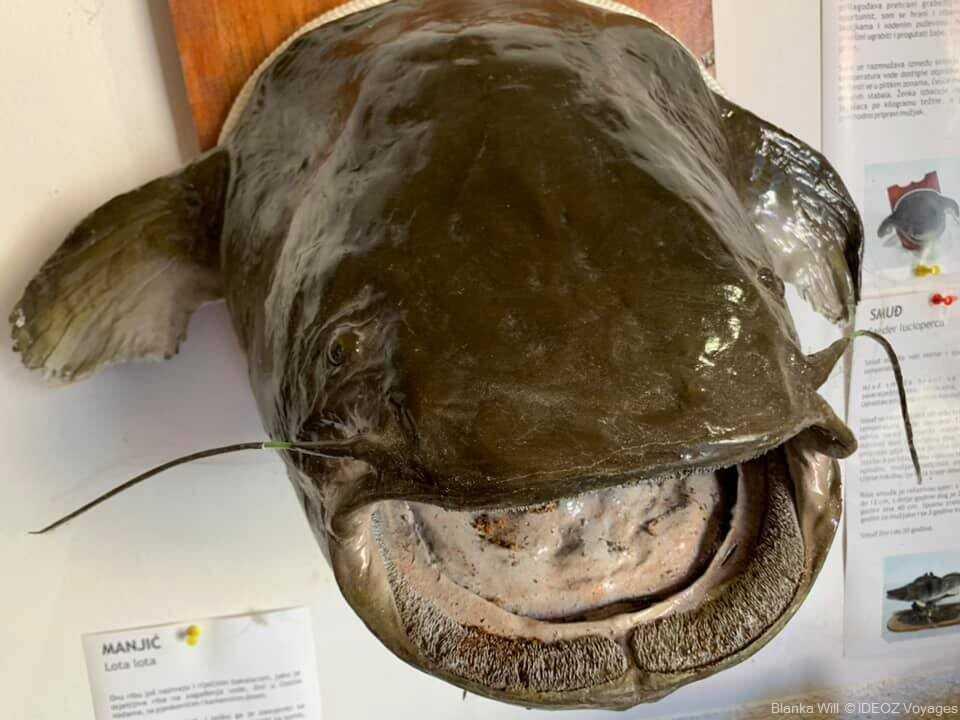 spécimen de poisson exposé au musée ethnologique et animalier de Kopacevo