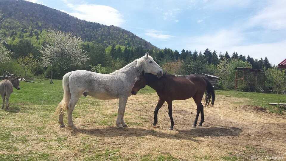 chevaux dans le haras de Mrzlin grad près de Plitvice