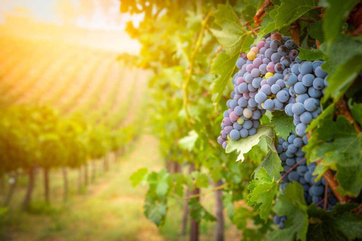 vignobles en france