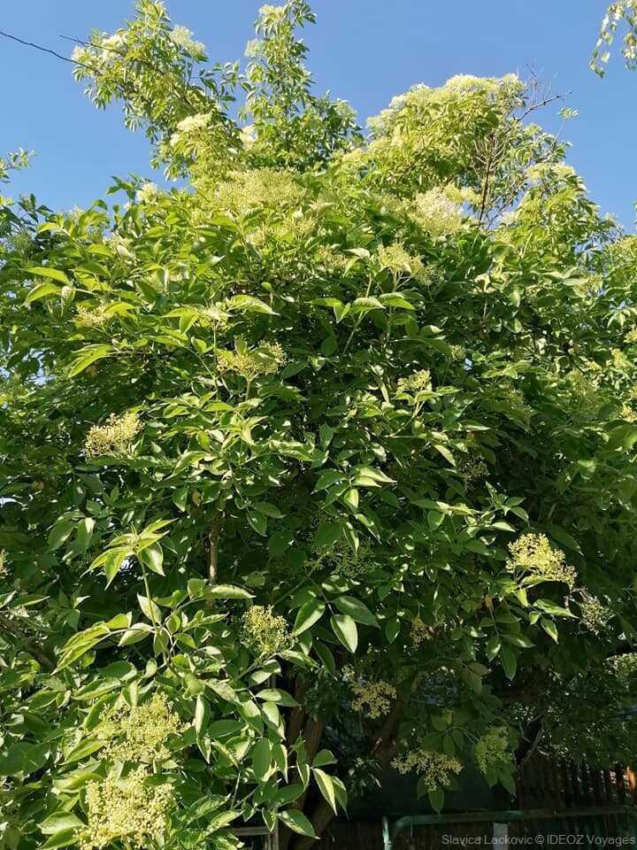 arbre et fleurs de sureau à la ferme lackovic à bilje