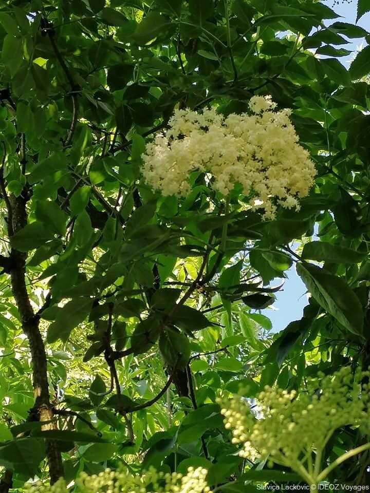 fleurs de sureau en croatie