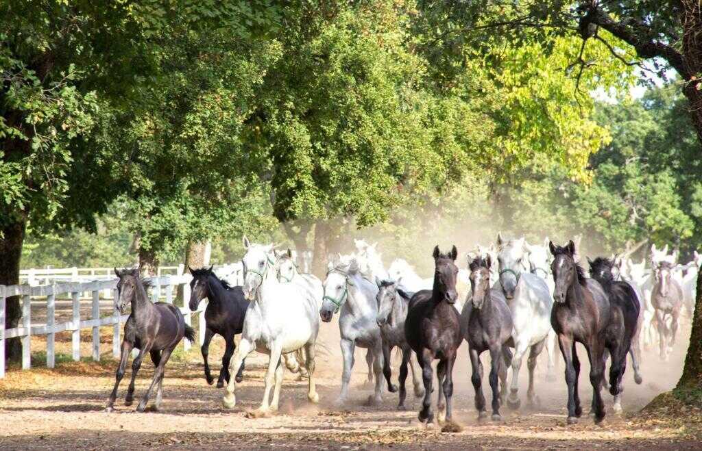 chevaux lipizzans en slovenie